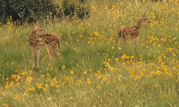 Fawning Over Fawns