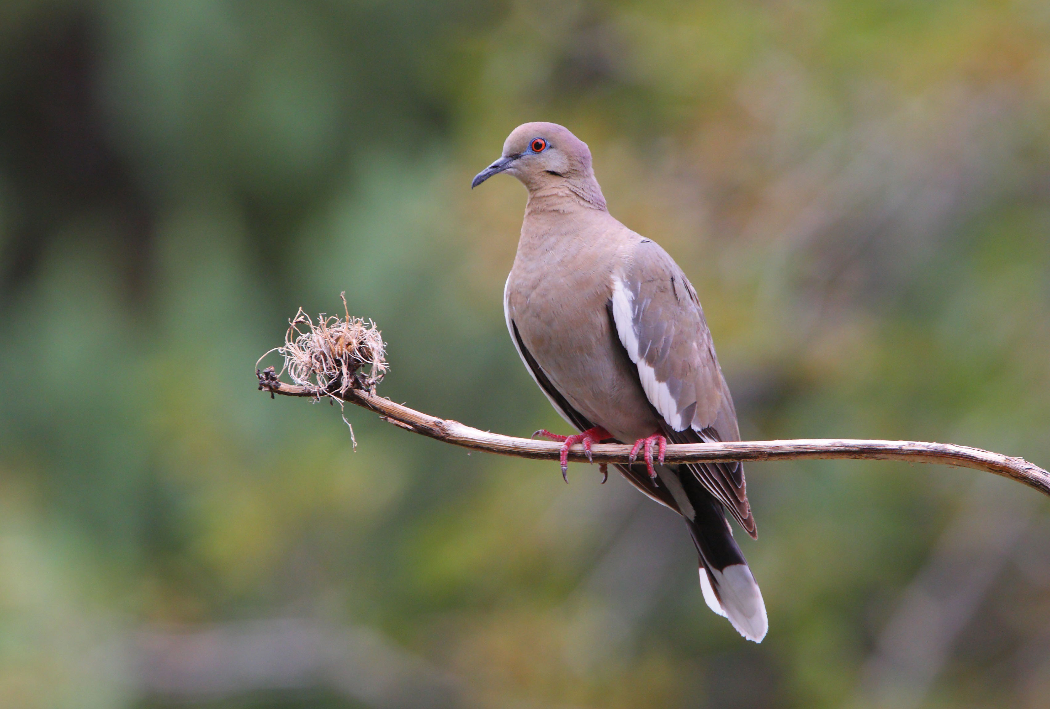 Just Like a White-winged Dove