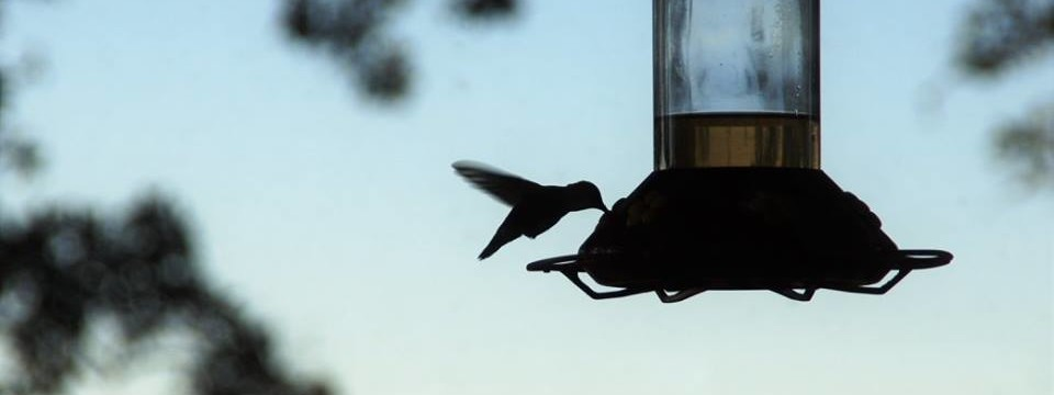Rufous and Ruby Won't Leave: When Hummingbirds Don't Fly South for the Winter