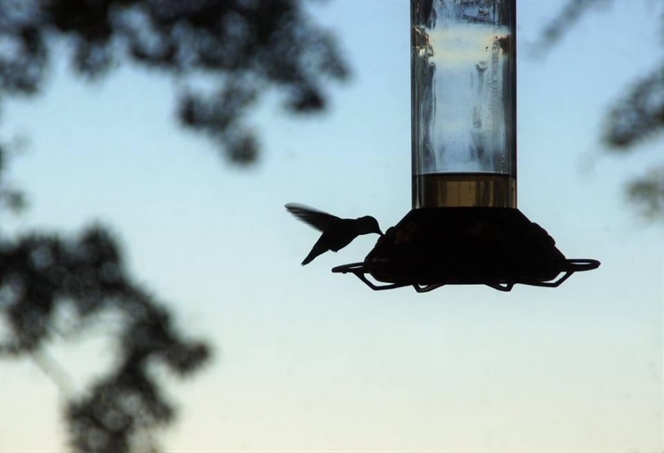5 maneras de ayudar a los colibríes durante su migración de otoño & mdash; RISMedia