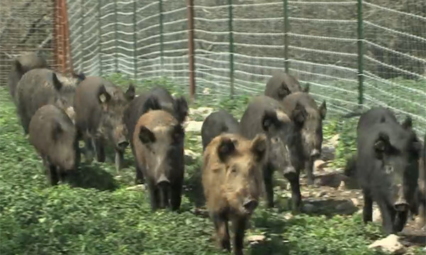 Feral Hog Control: There's an App for That