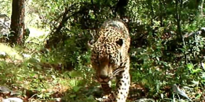 Feline the Excitement: Country's Only Known Wild Jaguar Caught on Tape!