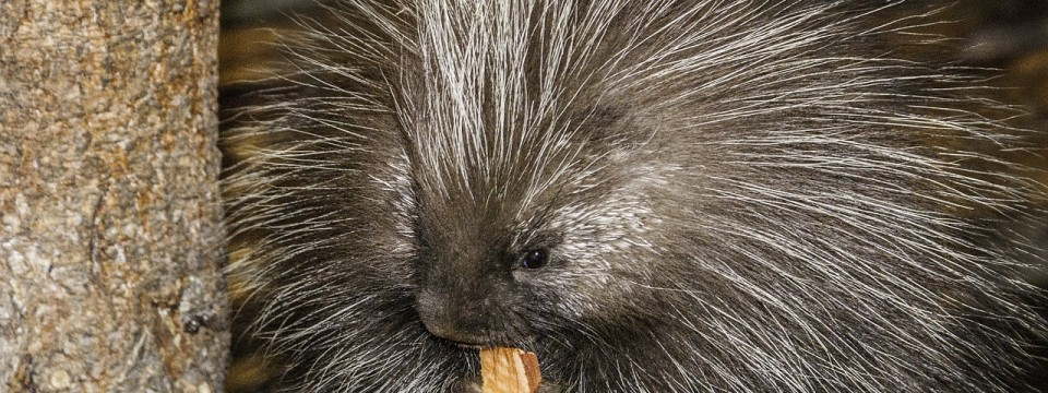 Porcupines in Texas: A Sticky Subject