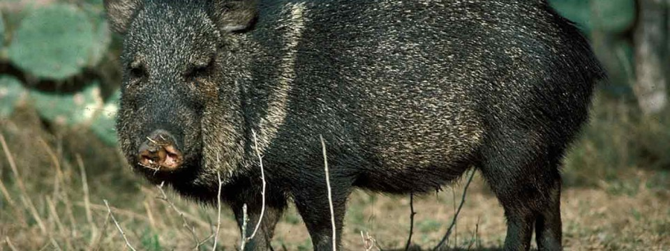 "Javelina We Got Some ""Pig"" News For You!"