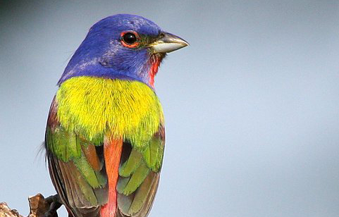 The Uncommon Common Painted Bunting
