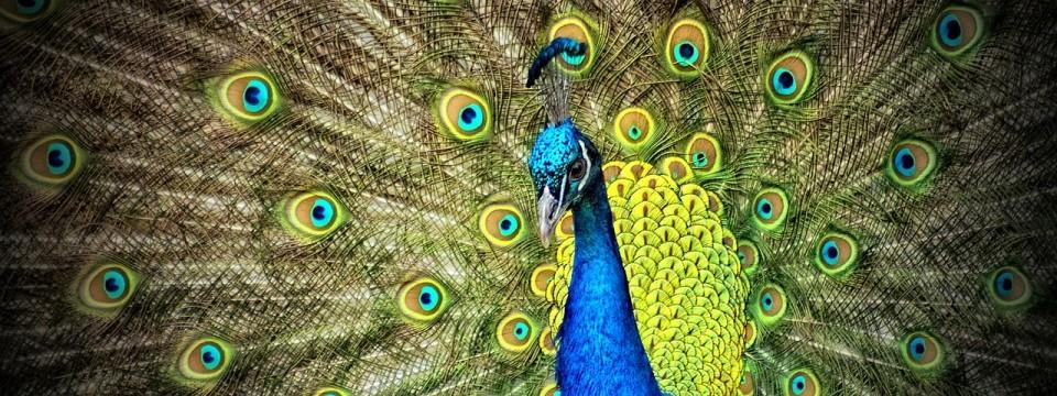 Beauty Gone Wild: Feral Peacocks in Texas