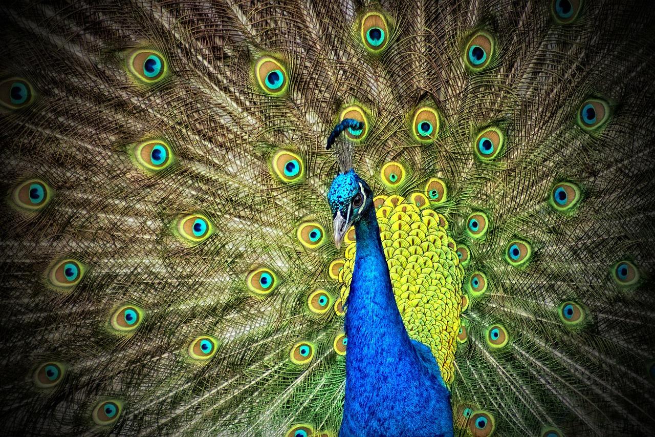 Beauty Gone Wild: Feral Peacocks in Texas - Landmark Wildlife Management